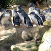 Penguins at the Wildlife Park in Sydney, Australia.