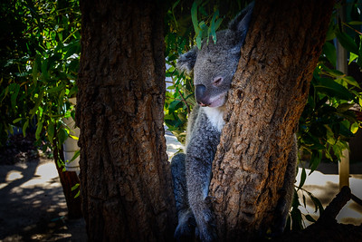 Koala at Taronga Zoo, Sydney Harbor