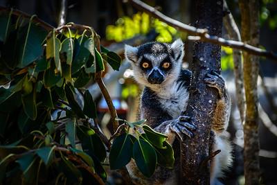 A Lemur at Taronga Zoo, Sydney Harbor