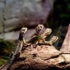 Bearded Dragons at Sydney Wildlife World, Darling Harbor