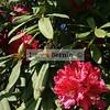 Bowral Tulip Festival, Bowral, NSW, September 2007,  Moidart , Tulip Time