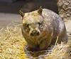 freshly woken Wombat