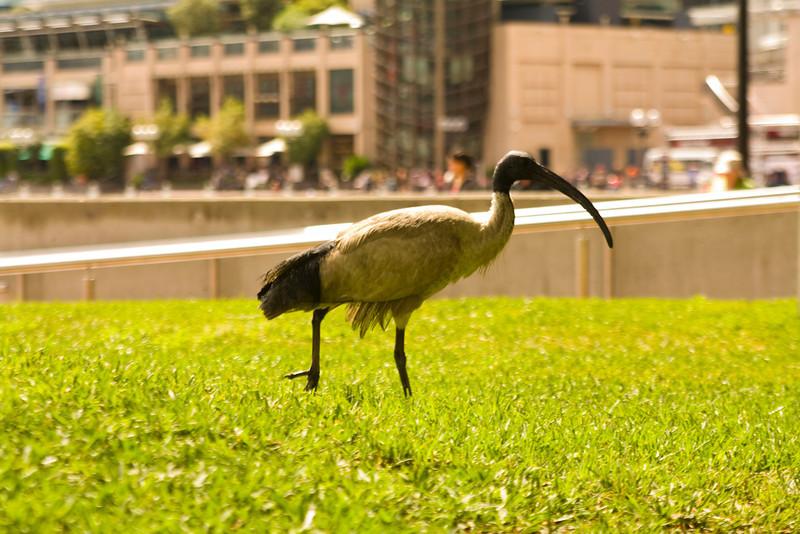 Aussie bird.