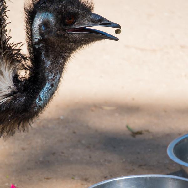 Emu in zoo