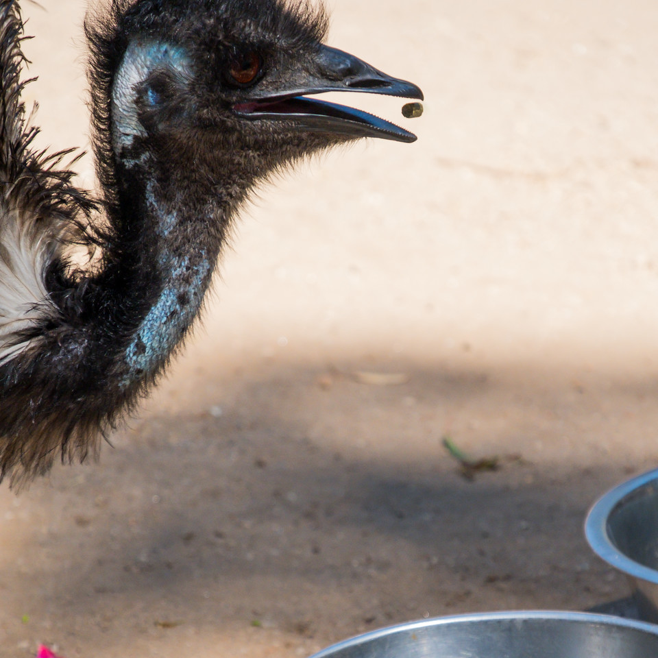 Emu in zoo