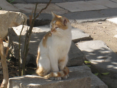 This one is for you Jess.  The cats in Damascus were chubby, with short legs and normal ears, not the bat ears that Dubai cats have.