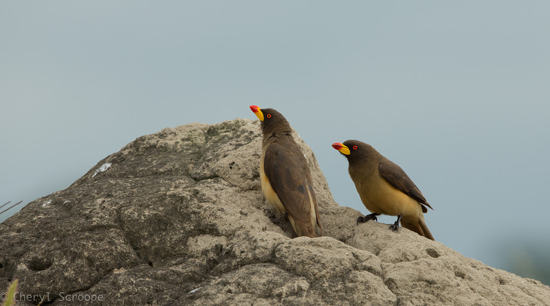 Yellow-Billed Oxpecker, Buphagus a. africanus