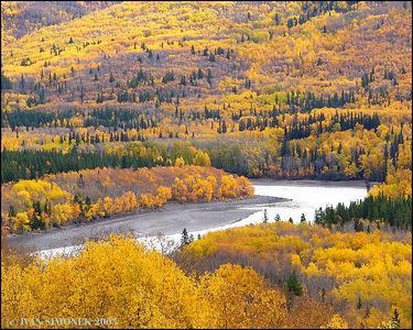 """""""GOLDEN FALL"""", Stikine river,B.C.,Canada-----""""ZLATY PODZIM"""", reka Stikine, B.K.,Kanada."""
