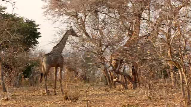 South Africa Video for SmugMug#18-3 Giraffs mp4