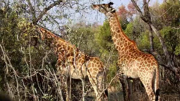 South Africa Video for SmugMug#12-Giraffs mp4