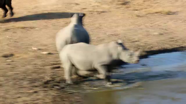 South Africa Video#7-Rhinos at pond