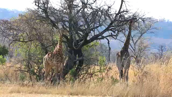 South Africa Video#5-Giraffe