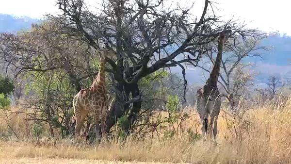 South Africa Video#5-Giraffe