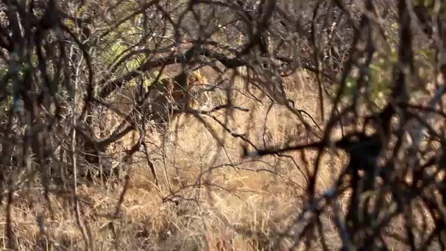 South Africa Video for SmugMug-#9-Lion