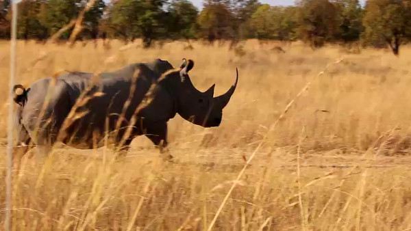 South Africa Video#6-Rhino