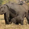Elephant and baby#1364