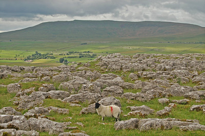 Limestone pavement, an almost unique feature of this landscape, and the ubiquitous hill sheep