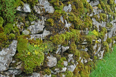 Moss and wildflowers colonising an old drystone wall near Nether Lodge