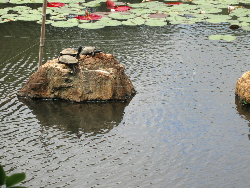Three turtles on a rock in a pond