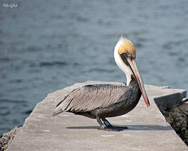 This little pelican posed so nicely for me.