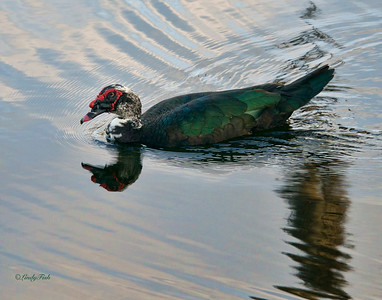 Muscovy Duck - Woodsmoke