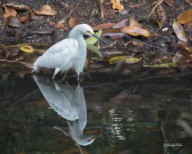 Snowy Egret - Woodsmoke