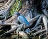 Little Blue Heron - Woodsmoke