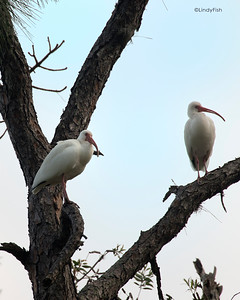 White Ibis - Woodsmoke