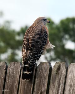 Red Shouldered Hawk - Woodsmoke