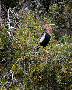 Female Anhinga - Woodsmoke