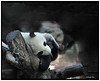 A typical site - a sleeping Panda!
