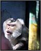 The monkeys - through glass