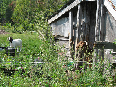 Goats near Lexington, Indiana.