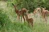 impala females