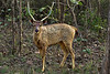 Male Sambar Deer