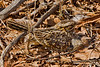 An extremely well camouflaged Savannah Nightjar with two chicks under the wings.