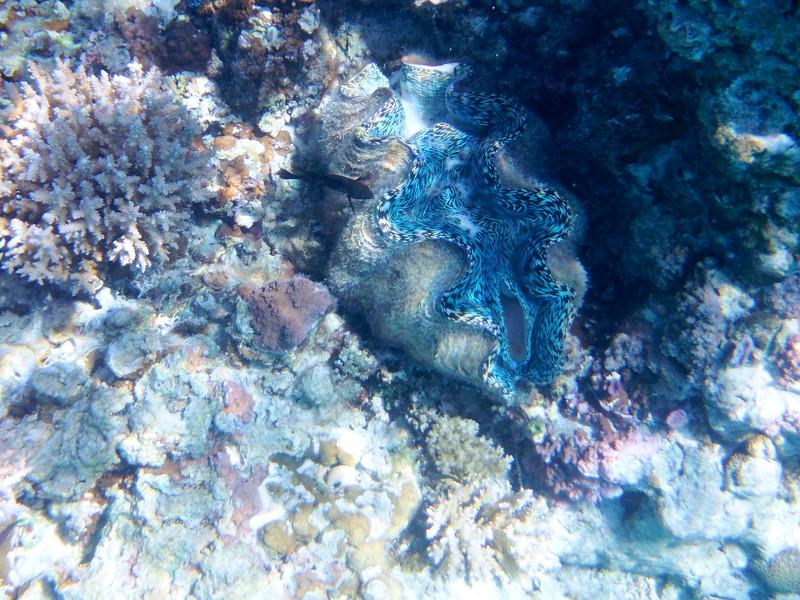 Giant Clam, Aitutaki Reef, Cook Islands
