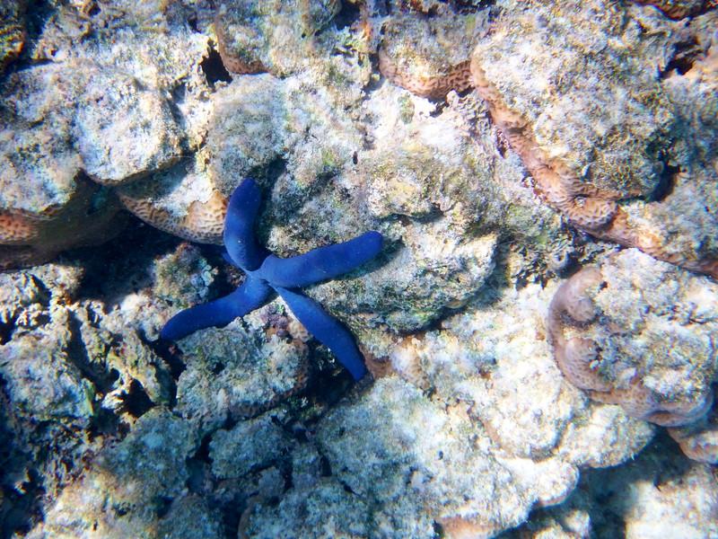 Sea Star (Star Fish), Rarotonga Reef