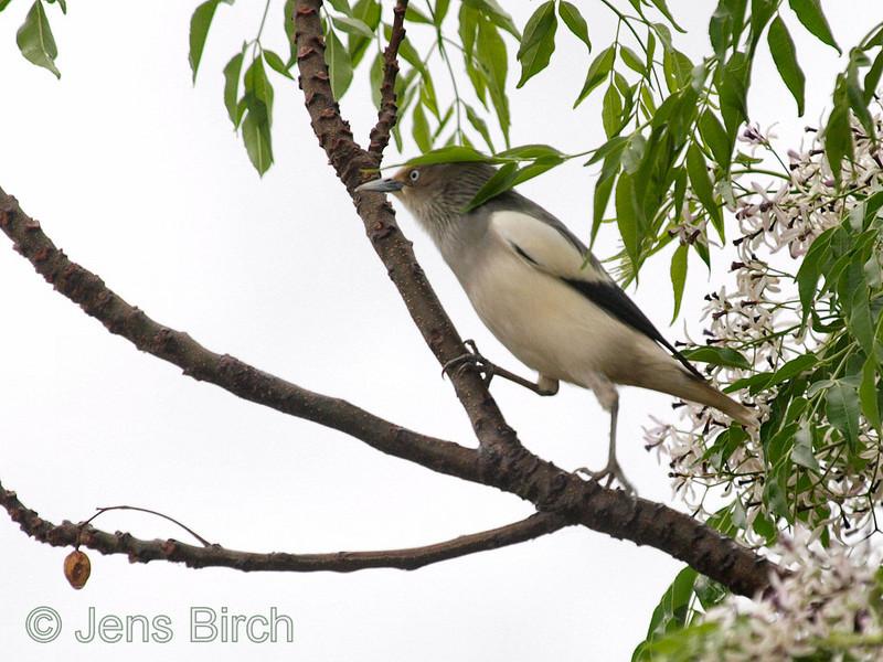 White-shouldered starling (Sturnus sinensis), Longluan lake, Kenting national park, Taiwan