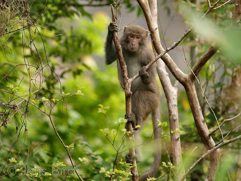 Taiwanese macaque