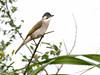 Styan's bulbul (Pycnonotus taivanus taivanus) also known as Formosa bulbul