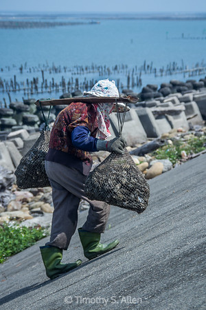 Carrying Harvested Oysters