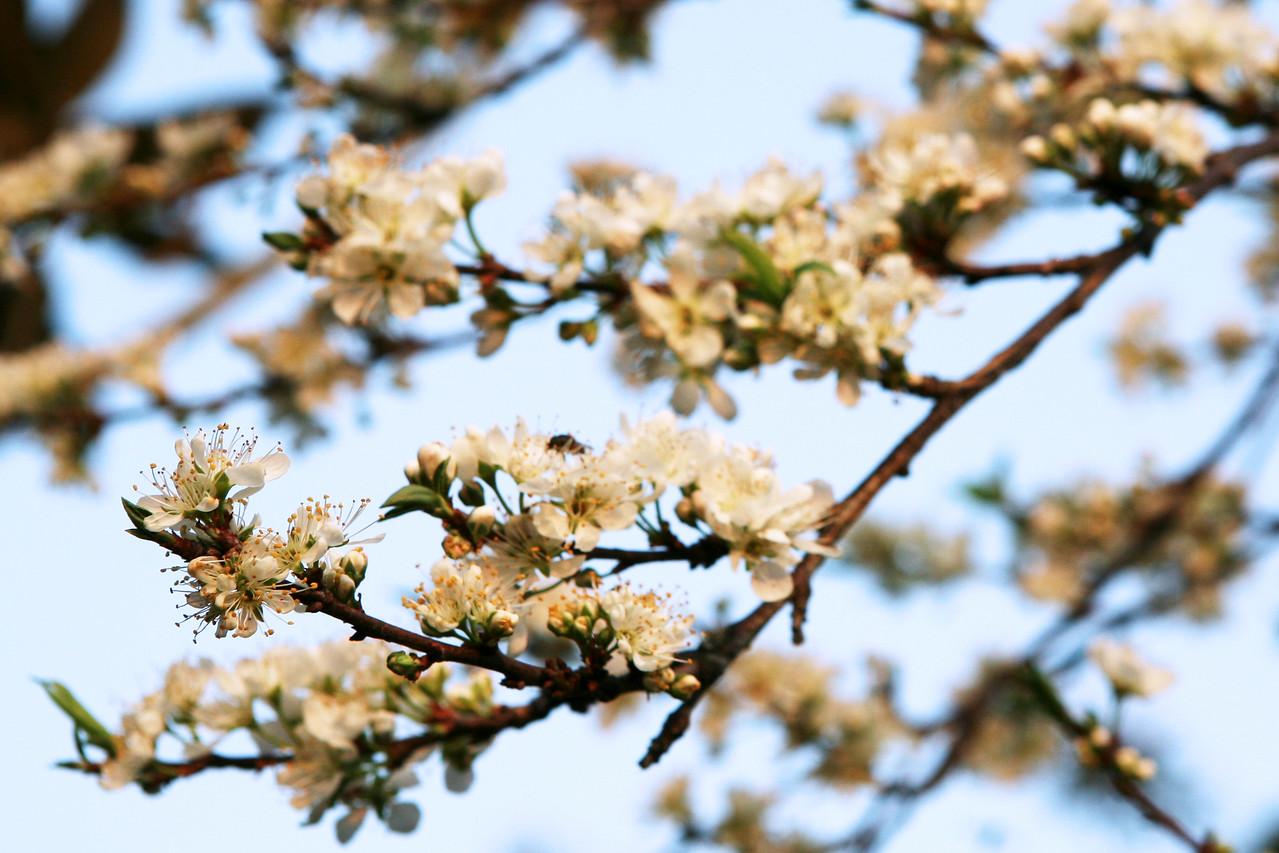 Chia Yi plum blossom 嘉義梅花