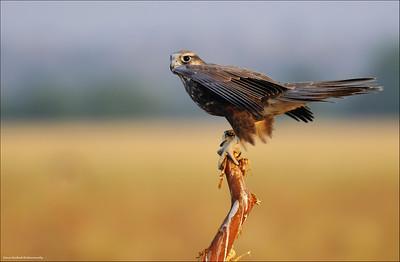 Laggar Falcon...