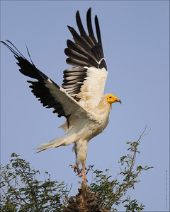 Egyptian Vulture - take off....