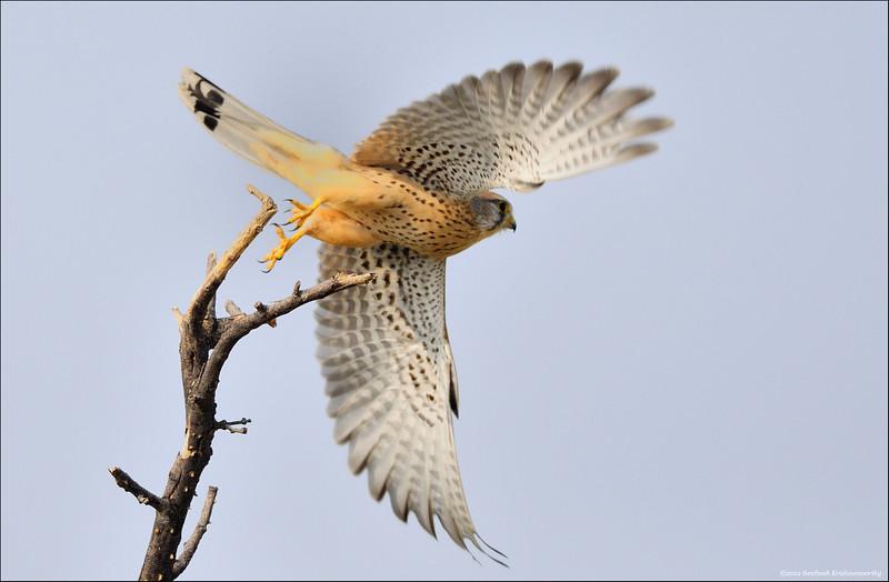 Common Kestrel ( male ) - take off....