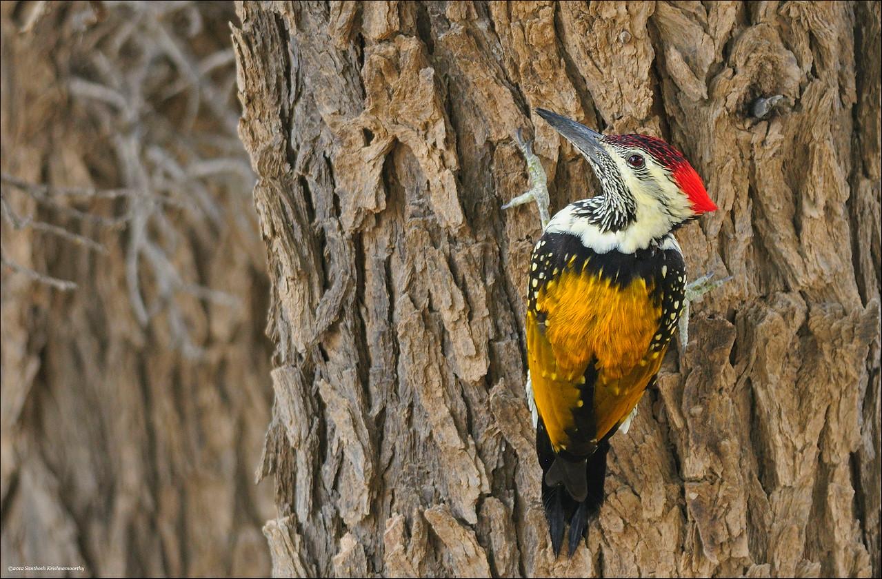 Black rumped flameback woodpecker