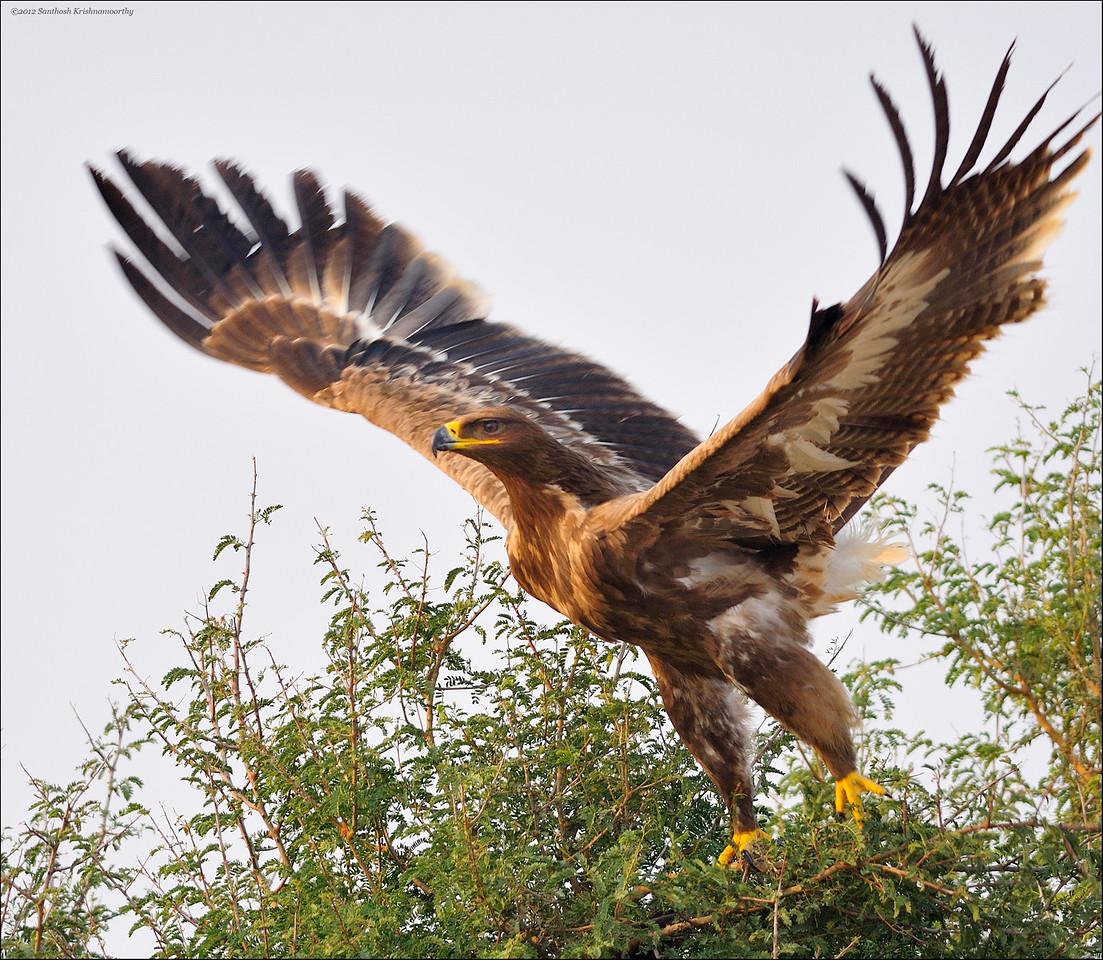 Steppe Eagle - take off....