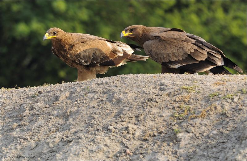 Curious Eagles....