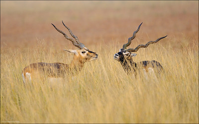 Blackbucks.....